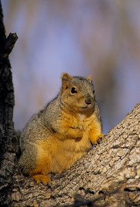 Fox Squirrel-105