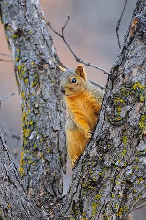 Fox Squirrel-6163