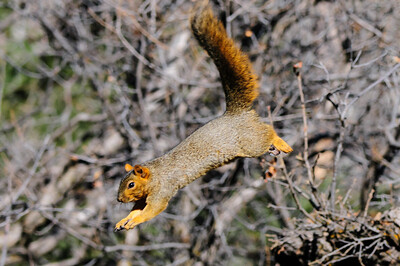 Fox Squirrel-3023
