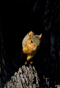 Fox Squirrel-106