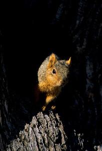 Fox Squirrel-106