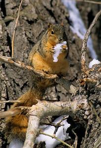 Fox Squirrel-110