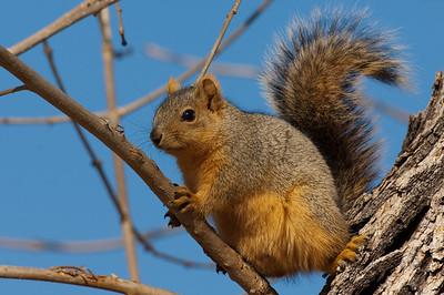 Fox Squirrel-179