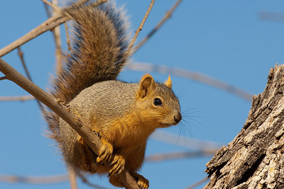 Fox Squirrel-161