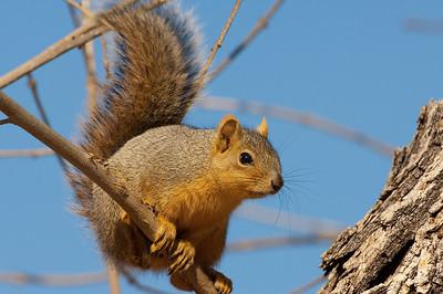 Fox Squirrel-161