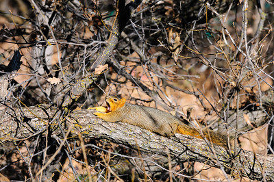 Fox Squirrel-2783