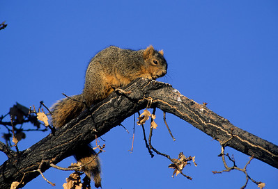 Fox Squirrel-103