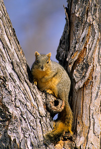 Fox Squirrel-112