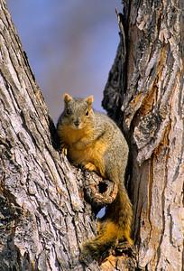 Fox Squirrel-112