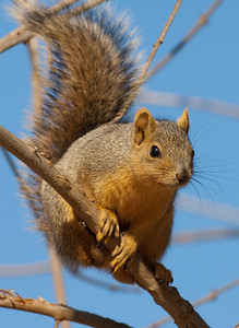 Fox Squirrel-157
