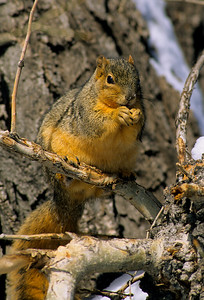 Fox Squirrel-109