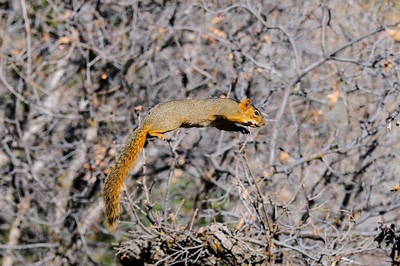 Fox Squirrel-3014