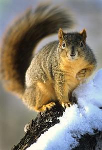 Fox Squirrel-101, Denver, CO
