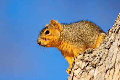 Fox Squirrel-131