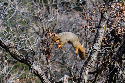 Fox Squirrel-2763