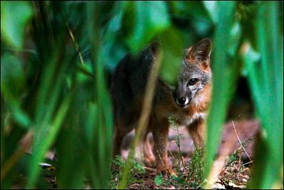 Gray Fox at dusk  Urocyon cinereoargenteus