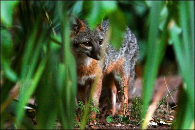 Gray Fox at dusk  Urocyon cinereoargenteus