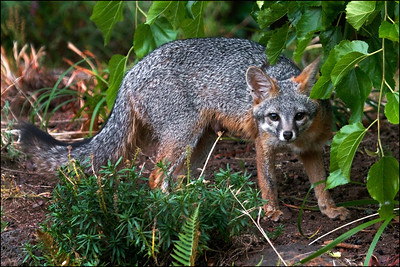 Gray Fox - Urocyon cinereoargenteus