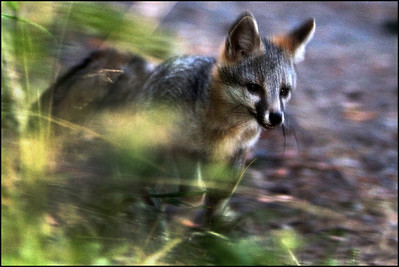 Gray fox Urocyon cinereoargenteus