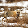 Red fox with rodent catch (Vulpes vulpes)