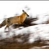 Morning impressions, red fox on run (Vulpes vulpes)
