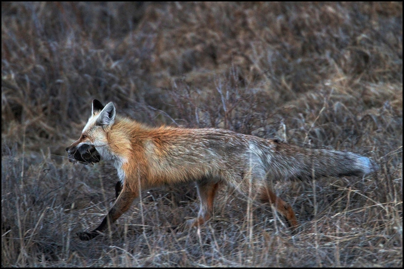 Red fox at dusk with a mouthful of rodent stash (Vulpes vulpes)