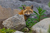 Shy Fox Kit