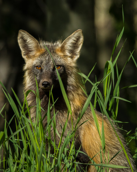 Red Fox, Saskatoon Mountain Natural Area, Alberta