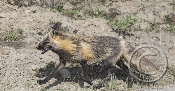 Tricolor Fox in a Trot