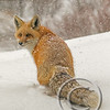 Red Fox in White Snowfall