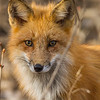 Red Fox, Prince Edward County, Ontario