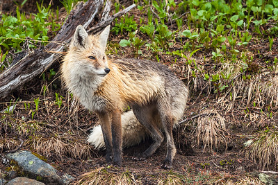 Red Fox on a Rainy Day