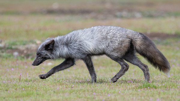 Female Red Fox on the move