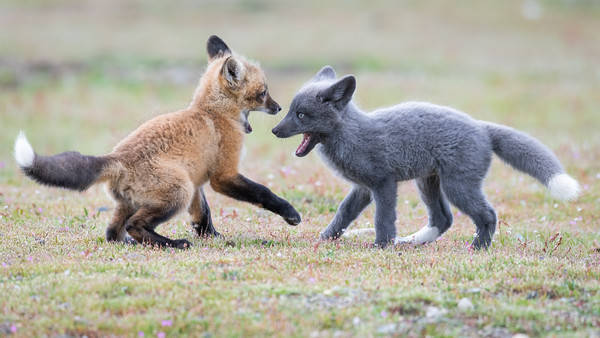 Young Foxes Showdown