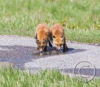 Red Fox Kits Drinking Buddies