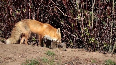 Video Red Fox Kits Romp and Play