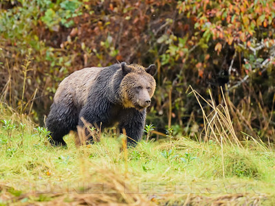 GRIZ_KNIGHTS_INLET_BC_CAN_2016-10-07_D01_2500_5778