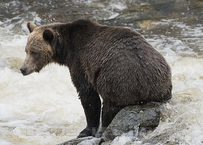 Sports Leisure Vacations trip to Knights Inlet, Glendale Cove and Knights Inlet Lodge to view Grizzlies.