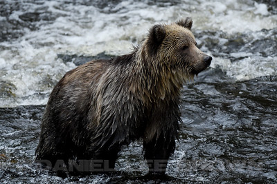 GRIZ_KNIGHTS_INLET_BC_CAN_2016-10-06_D02_2500_0454