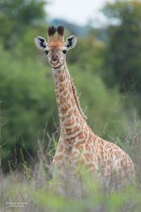Giraffe kalf, Willem Pretorius NR, FS, SA, Dec 2014