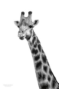 Giraffe, Willem Pretorius NR, FS, SA, Dec 2014bw