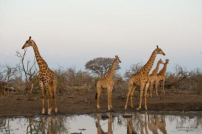 Giraffe, Madikwe GR (Imp), SA, Sept 2015