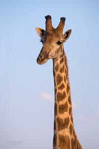 Giraffe, Madikwe GR (Imp), SA, Sept 2015-1