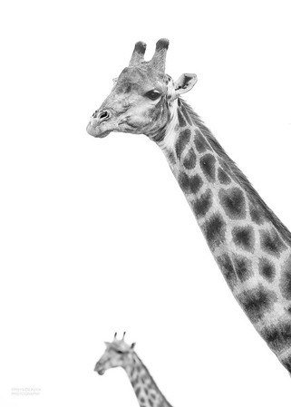 Giraffe, b&w, Willem Pretorius NR, FS, SA, Dec 2014-1