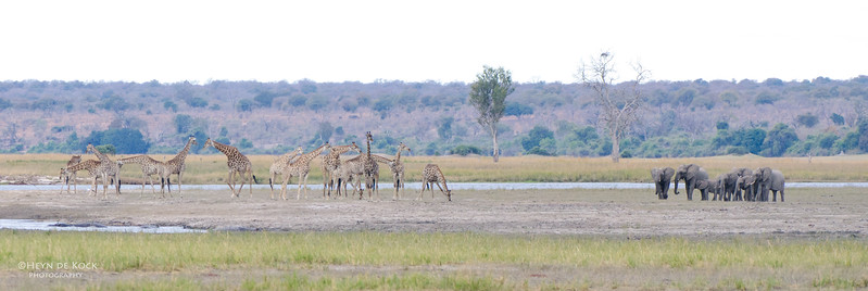 Giraffe & Elephant, Chobe NP, Botswana, July 2011