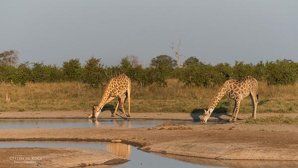 Southern Giraffe, Savuti, Chobe NP, Botswana, May 2017-6