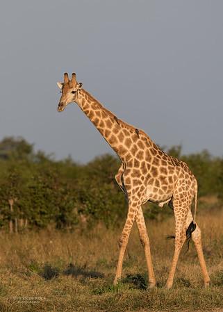 Southern Giraffe, Savuti, Chobe NP, Botswana, May 2017-2