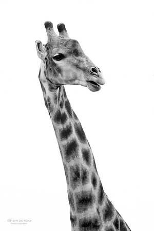Giraffe, Willem Pretorius NR, FS, SA, Dec 2014-3bw
