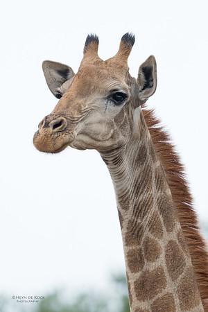 Giraffe, Phinda, KZN, SA, Oct 2016-5