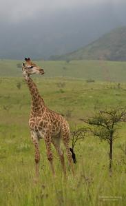 Giraffe, Ithala NP, KZN, SA Jan-2014-1